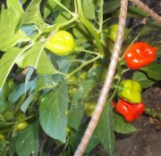 habañero peppers